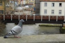 Taube auf der Brücke am alten Rathaus